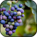 Download Grapes Wallpapers 6 APK